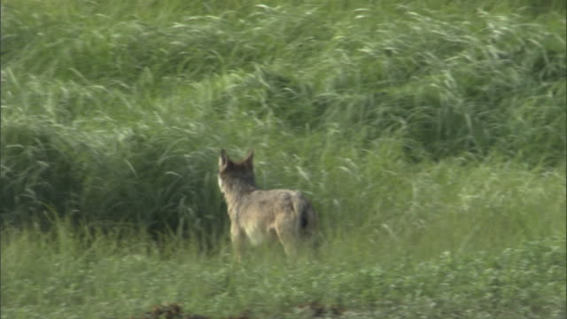 A lone wolf trots through long grass and then turns around.