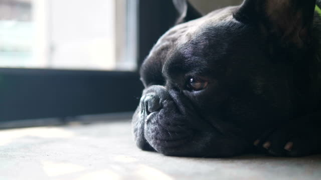 lonely black french bulldog waiting front of the door. - illness stock videos & royalty-free footage