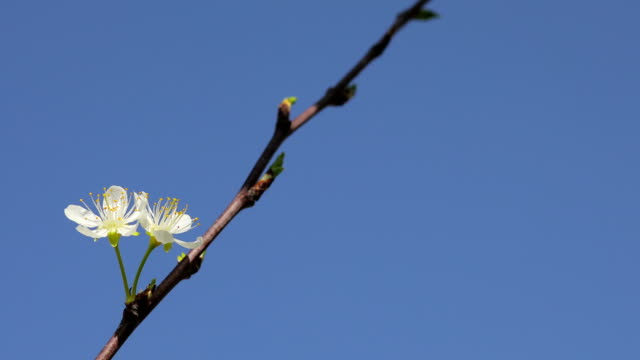 lonely couple of spring flowers - albero da frutto video stock e b–roll