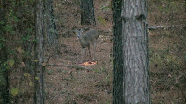 vídeos de stock, filmes e b-roll de lonely deer comer em - doe
