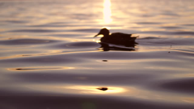 lonely duck on lake - duck stock videos & royalty-free footage