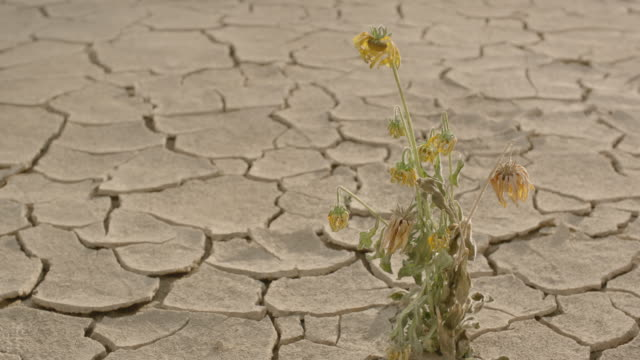 A lonely flowering plant withering in a dry desert.