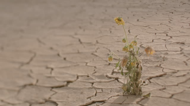 a lonely flowering plant withering in a dry desert. - flowering plant stock videos & royalty-free footage