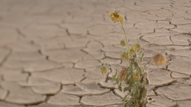 a lonely flowering plant withering in a dry desert. - ausgedörrt stock-videos und b-roll-filmmaterial