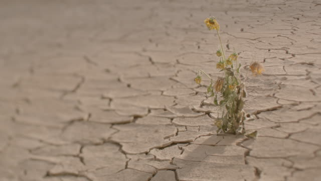 a lonely flowering plant withering in a dry desert. - 枯れた植物点の映像素材/bロール