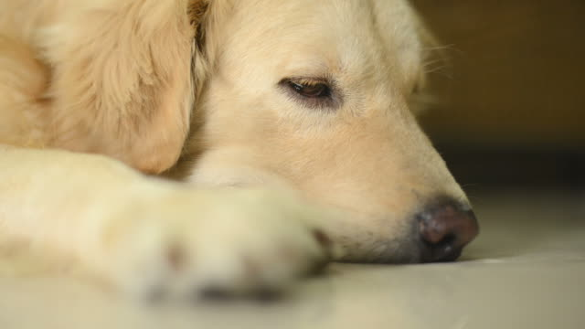 lonely golden retriever dog - hd 25 fps stock videos & royalty-free footage