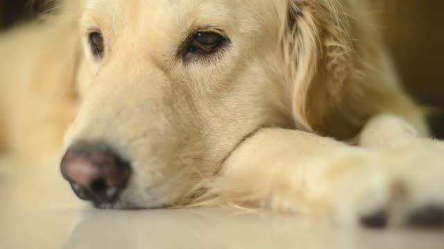lonely golden retriever dog - retriever stock videos & royalty-free footage
