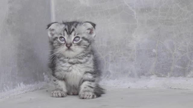 vídeos de stock, filmes e b-roll de gatinho solitário no fundo cinza - cinza descrição de cor