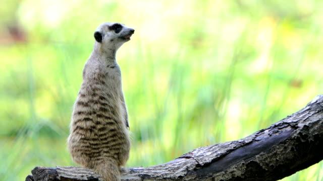 lonely meerkat - searching stock videos & royalty-free footage