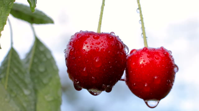 lonely pair of cherries after the rain - fruit tree stock videos & royalty-free footage