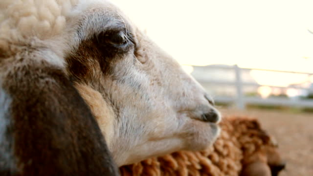 lonely sheep - one animal stock videos & royalty-free footage