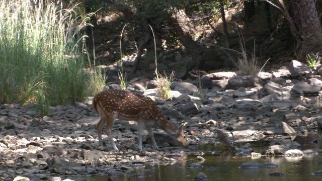 a lonely spotted deer drinking water in the small waterhole - long shot - tierkörper stock-videos und b-roll-filmmaterial