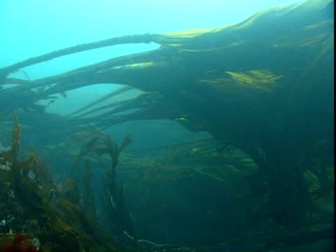 long banners of seaweed flutter and wave in the ocean's currents. - wasserpflanze stock-videos und b-roll-filmmaterial