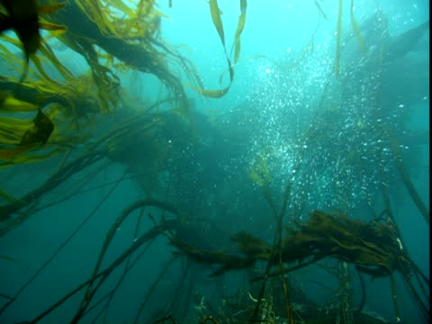 long banners of seaweed flutter in the ocean's currents. - aquatic plant stock videos & royalty-free footage