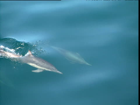 stockvideo's en b-roll-footage met long beaked common dolphins swimming, sea of cortez - common dolphin