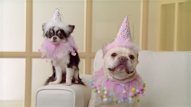 cu, long coat chihuahua and french bulldog wearing party hats and ruffled collars, portrait - french bulldog stock videos and b-roll footage