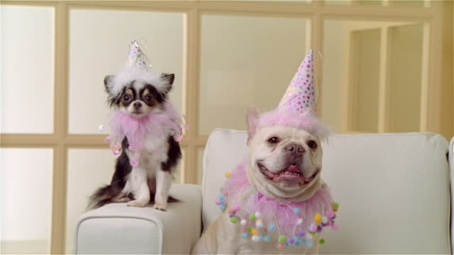 cu, long coat chihuahua and french bulldog wearing party hats and ruffled collars, portrait - party stock videos & royalty-free footage