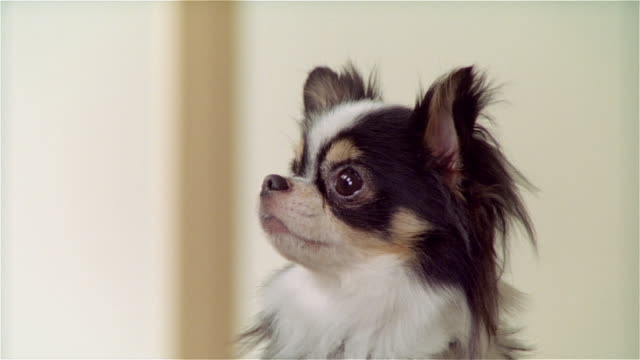 cu, long coat chihuahua getting treat - pampering stock videos & royalty-free footage