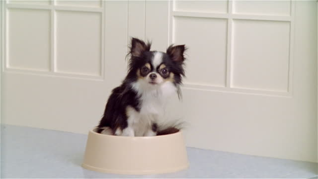 cu, zo, ms, long coat chihuahua sitting in dog bowl, portrait - chihuahua dog stock videos and b-roll footage