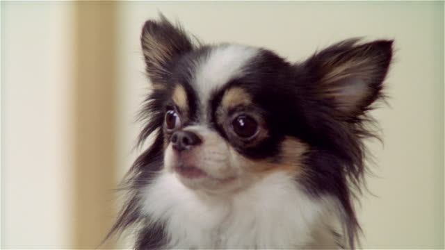 cu, long coat chihuahua - chihuahua dog stock videos and b-roll footage