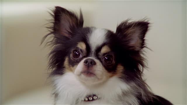 vídeos de stock e filmes b-roll de cu, zo, ms, long coat chihuahua - cão miniatura