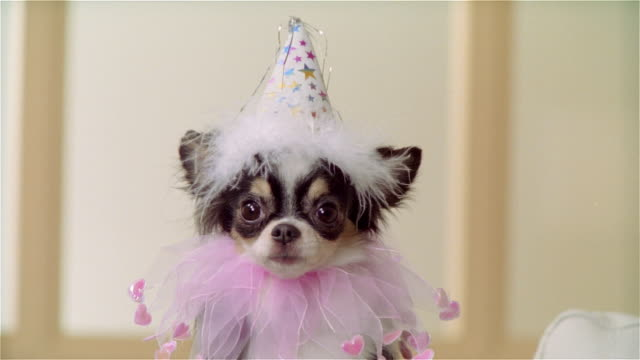 cu, long coat chihuahua wearing party hat and ruffled collar, portrait - party hat stock videos and b-roll footage
