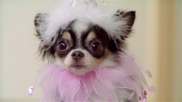 cu, long coat chihuahua wearing party hat and ruffled collar, portrait - pet clothing stock videos & royalty-free footage