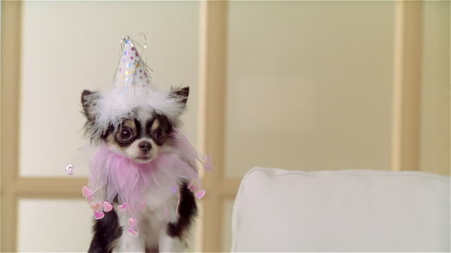 ms, zi, cu, long coat chihuahua wearing party hat and ruffled collar, portrait - hut stock-videos und b-roll-filmmaterial