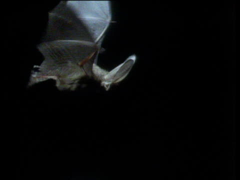 Long eared bat flies at night in search of prey