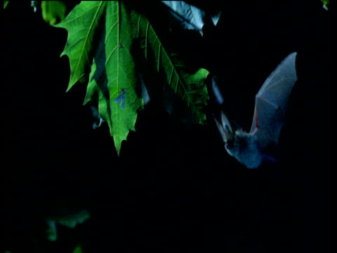 Long eared bat flies in and pounces on moth on leaf at night, UK