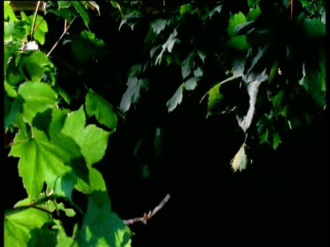 long eared bat flies through woodland at night, uk - brown stock videos & royalty-free footage