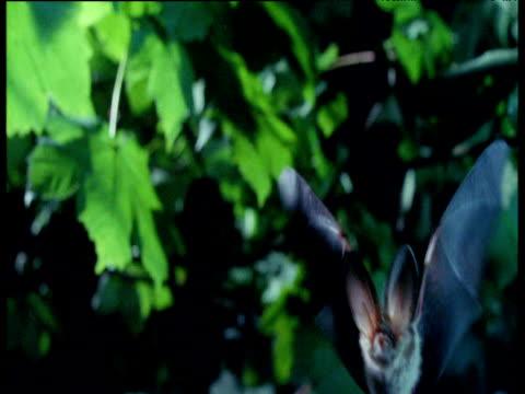 long eared bat flies towards camera, uk - brown stock videos & royalty-free footage