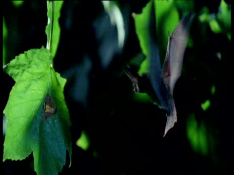 Long Eared Bat hovers in front of moth on leaf, moth keeps still so bat cannot hear it, UK