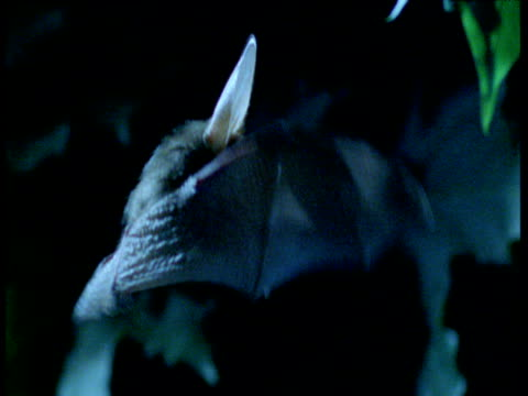 long eared bat hovers in woodland at night, uk - 2000s style stock videos & royalty-free footage