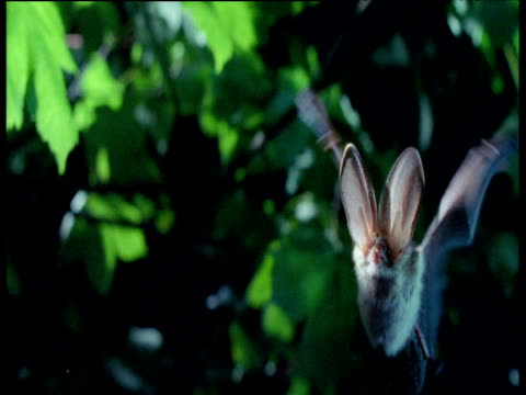 long eared bat hovers towards camera then flies away, uk - 2000s style stock videos & royalty-free footage