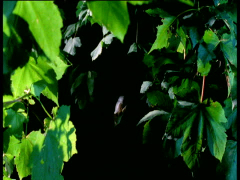 long eared bat hunts in woodland at night, uk - brown stock videos & royalty-free footage