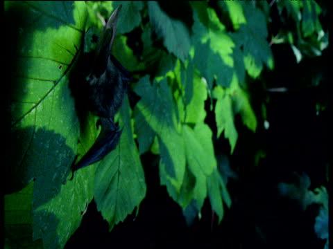 long eared bat on leaf, uk - brown stock videos & royalty-free footage