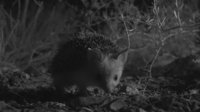 long eared hedgehog forages in desert at night, mongolia - hedgehog stock videos & royalty-free footage