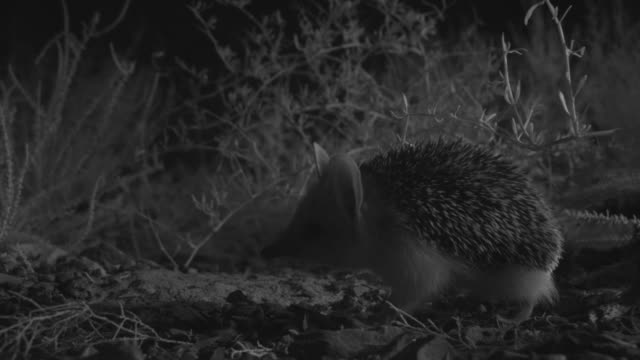 ir long eared hedgehog in desert at night, mongolia - hedgehog stock videos & royalty-free footage