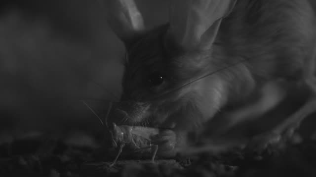 ir long eared jerboa catches locust in desert - animal ear stock videos & royalty-free footage
