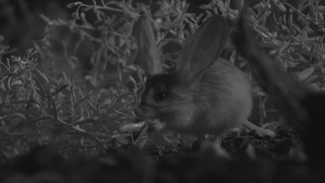 ir long eared jerboa eats locust in desert - animal ear stock videos & royalty-free footage
