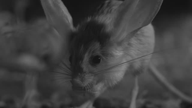 vídeos de stock e filmes b-roll de ir long eared jerboa eats locust in desert - roedor