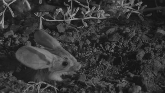 ir long eared jerboa emerges from burrow - roditore video stock e b–roll