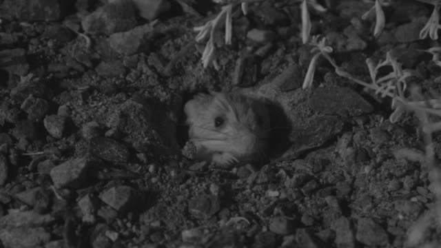 ir long eared jerboa emerges from burrow - animal ear stock videos & royalty-free footage
