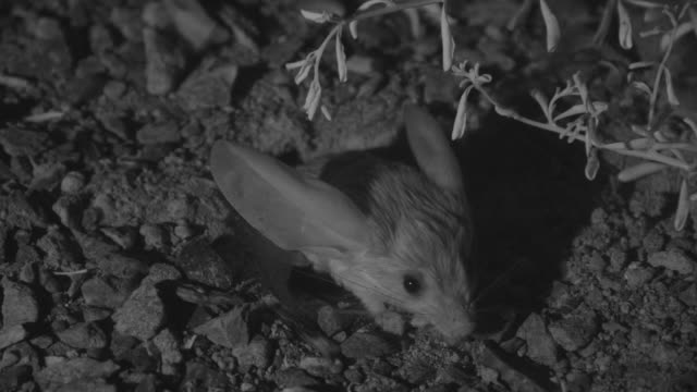 ir long eared jerboa emerges from burrow - 出現点の映像素材/bロール