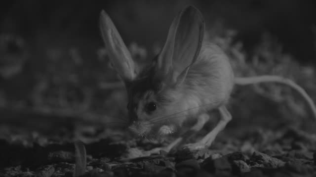 ir long eared jerboa forages in desert - animal ear stock videos & royalty-free footage