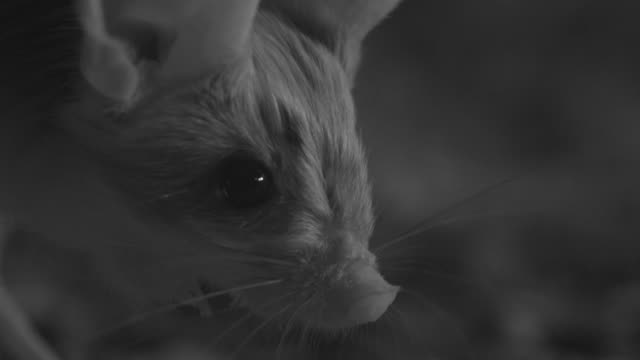 vidéos et rushes de ir long eared jerboa in desert at night, mongolia - long