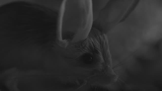 ir long eared jerboa in desert at night - animal ear stock videos & royalty-free footage