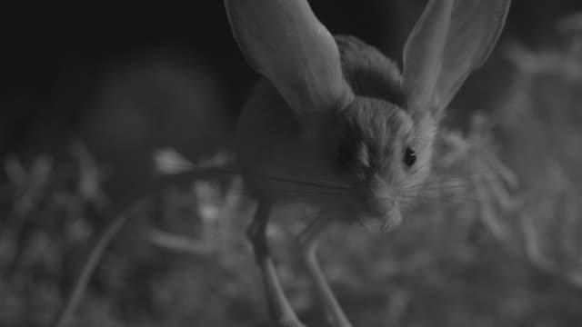 ir long eared jerboa leaps in desert - animal ear stock videos & royalty-free footage