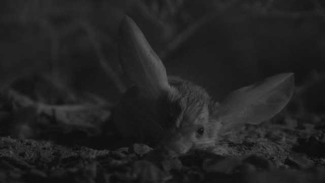vidéos et rushes de ir long eared jerboa rests in desert at night, mongolia - long